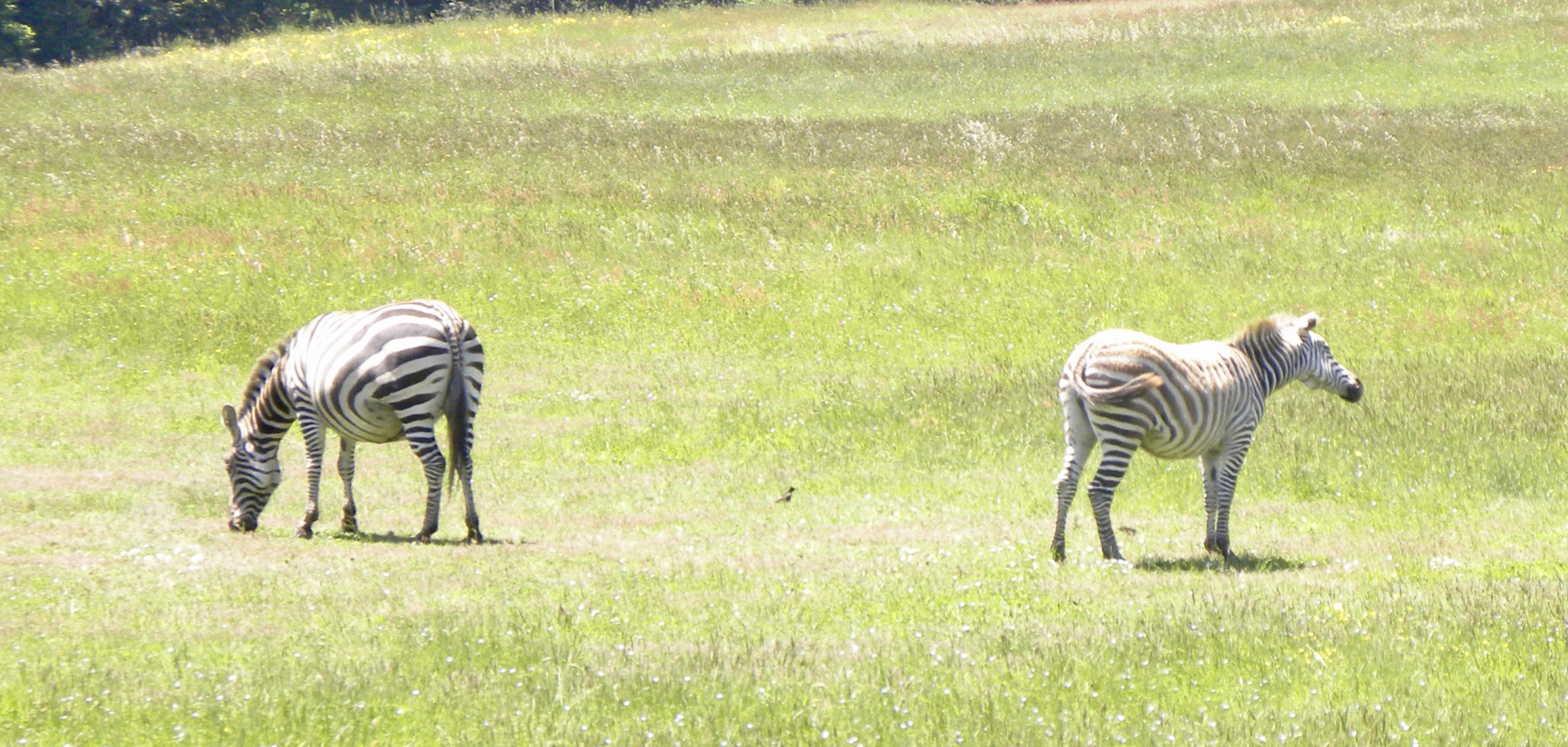 Have you seen a zebra lately?-fullsizeoutput_e2f.jpg