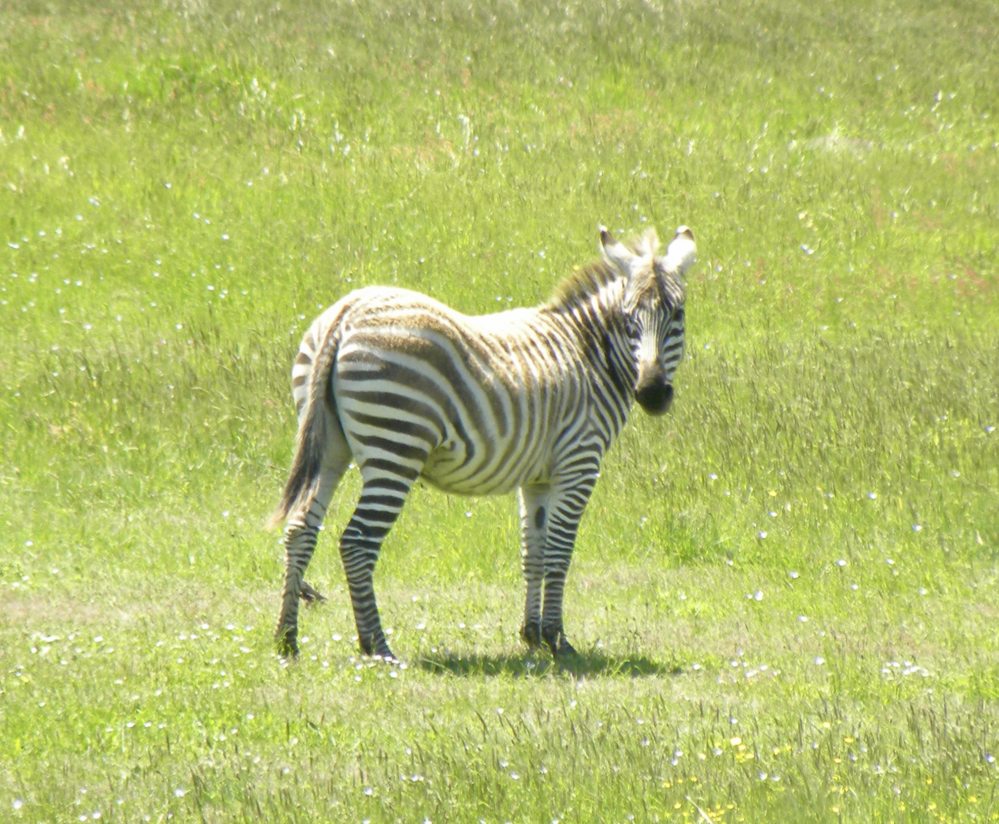 Have you seen a zebra lately?-fullsizeoutput_e35.jpg